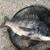 手練黒鯛師達との沖堤ヘチ、テトラ前打ち、短時間釣行記。釣友っていいな~♪にーんげんっていいな~♪の巻。