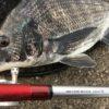 【神戸沖堤】短時間3本勝負【ヘチ釣り】掛けアワセる釣りはヒリヒリ楽しい。